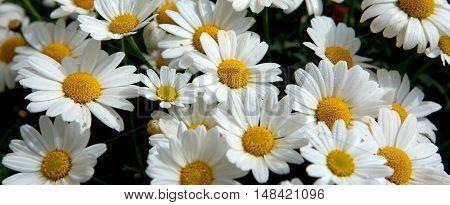 Daisy flowers background.Macro of beautiful white daisies flowers.