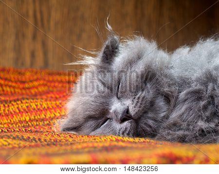 Portrait of a gray kitten. The cat sleeps