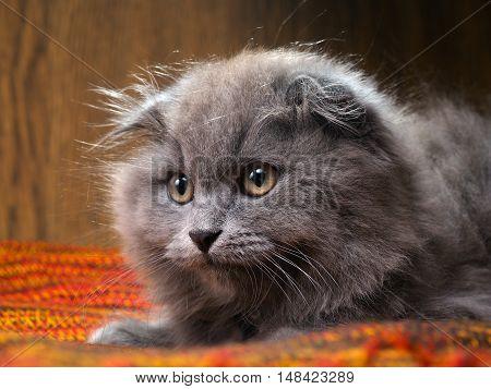Portrait of a gray kitten. Cat Breed British lop-eared