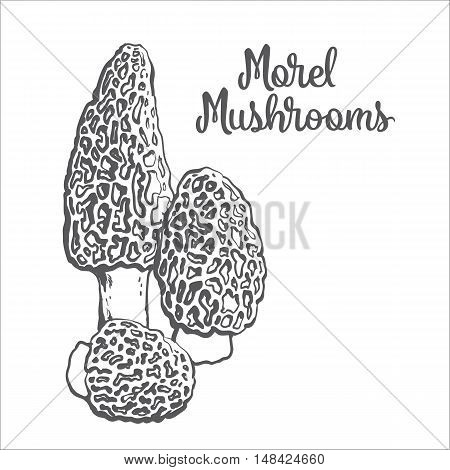 Set of morel edible mushrooms sketch style vector illustration isolated on white background. Collection of edible mushrooms morel