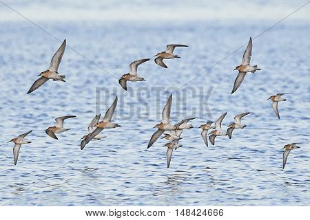 Ruffs and dunlins in flight with blue water in the background