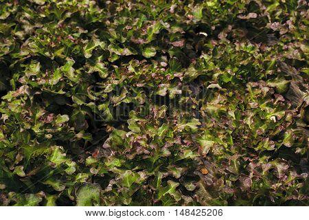 Fresh green red lettuce salad leaves closeup. Salad texture
