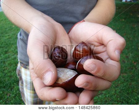 chestnuts in children's handslots of ripe seeds