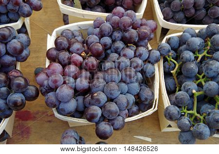 Bunches of purple wine grapes displayed in baskets for market