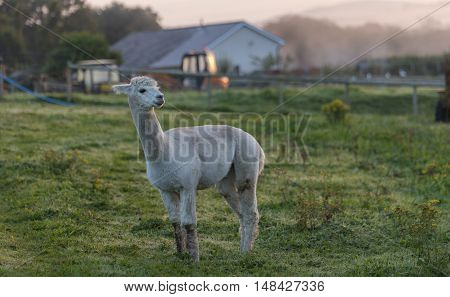 A single Alpaca in a field, at dawn