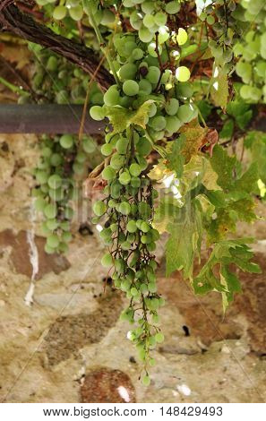 Closeup of growing grapevine with grape cluster
