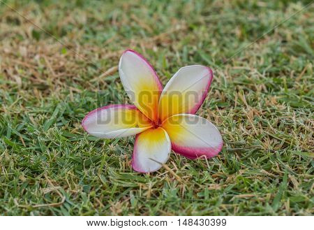The Plumeria flowers beautiful in parks, outdoor