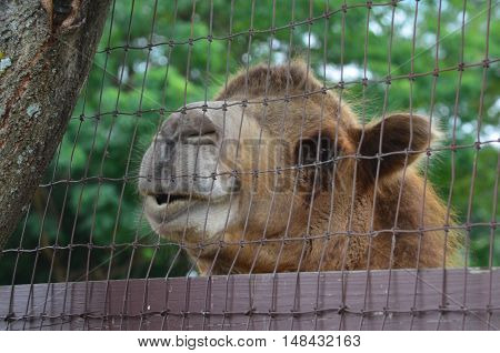 A Camel looking over a fence in a zoo
