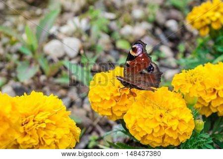 butterfly sits on a yellow flower, macro photo
