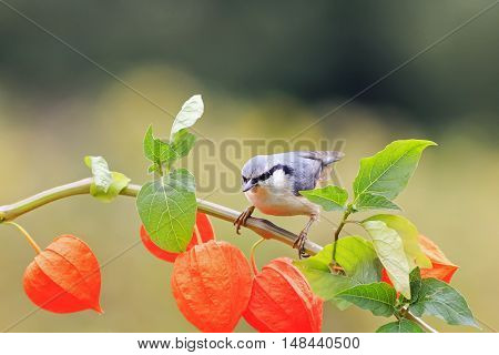 funny nuthatch bird sitting on a beautiful branch of physalis