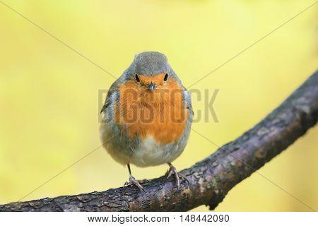 bird Robin red breast in autumn Park