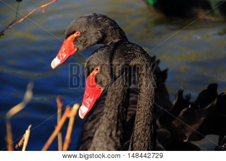 Two black swans on a water level close-up