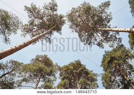 Low angle view on trunks and crowns of pines against blue sky.