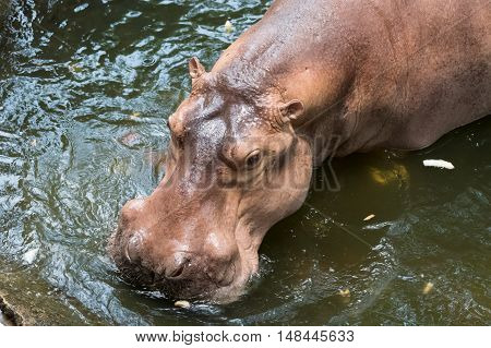 The common hippopotamus in the green water.