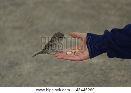 a sparrow bird eating bread from outstretched hand
