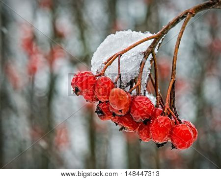 Snow-covered the European ash-berry isolated on white