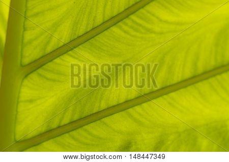 a backlit fresh green palm leaf, ckose up