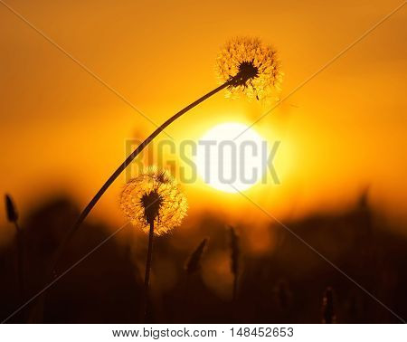 Two dandelion on background of the setting sun