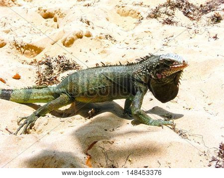 Iguana on white sand in the Caribbean beach