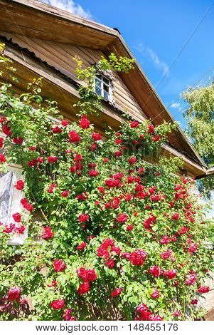 Flowers roses on the facade of an old wooden house in village. Rural life in summer