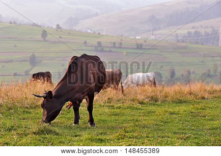 Cows On A Mountain Pasture. Autumn Hills
