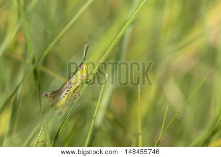 Meadow Grasshopper (Chorthippus parallelus) male resting on a Grass-Stalk