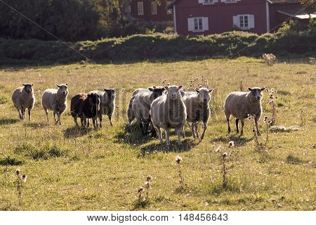 White sheep running on a meadow in the warm evening sun