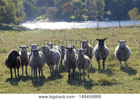 Flock of sheep on a meadow staring a lake in the background