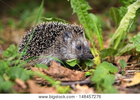 young hedgehog (Erinaceus europaeus) in autumn looking for food in the natural habitat selected focus narrow depth of field