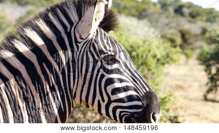 Close Up Of The Burchell's Zebra