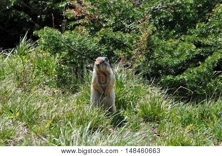 Colombian Ground Squirrel, Cracker Lake, Glacier National Park, Montana U.S.A