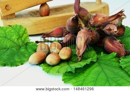 fresh hazelnuts with crack a nut shell