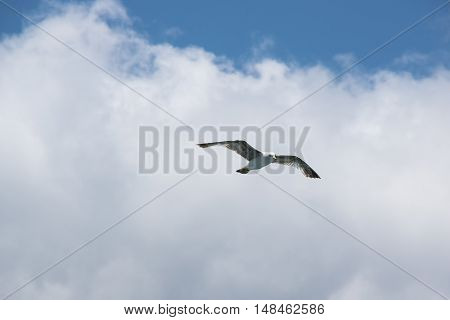 Bird seagull flying in the sky over the sea