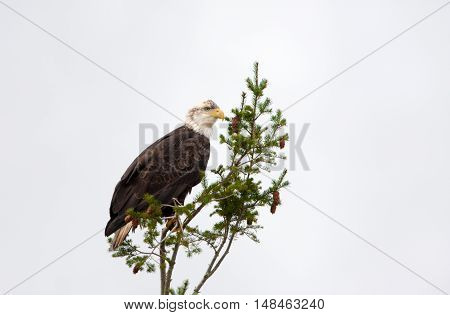 Bald Eagle sitting in a fir tree, Vancouver Island, Canada