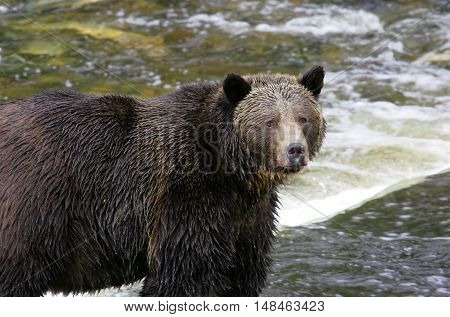 Wet Grizzly bear looking at the camera, standing beside a river rapid, British Columbia, Canada