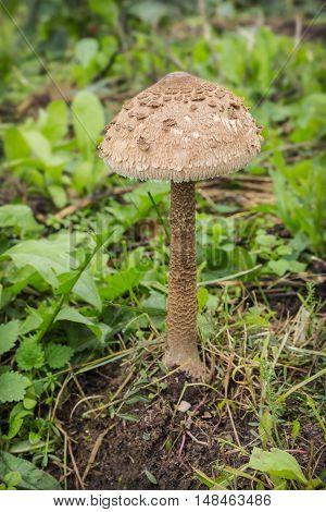 Mushroom-umbrella (Macrolepiota procera) grew in the garden in September