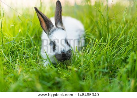 rabbit in the green grass in the meadow