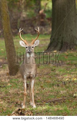 Whitetailed Deer Buck