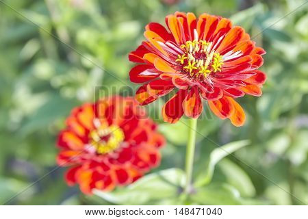 Picture O Red Zinnia Flower, Shallow Depth Of Field