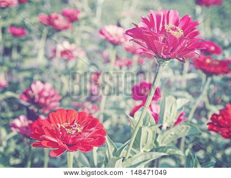 Retro Toned Picture O A Red Zinnia Flower.