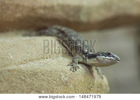 East African spiny-tailed lizard (Cordylus tropidosternum), also known as the dwarf sungazer. Wildlife animal.