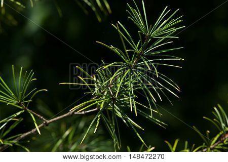 Japanese umbrella pine (Sciadopitys verticillata), also known as the koyamaki. Conifer plant.
