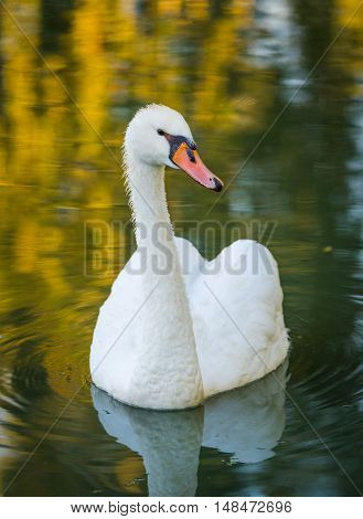 Graceful white Mute swan (Cygnus olor) in morning sunlight as he swims about with a mate nearby in a wooded pond.
