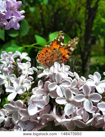 Butterfly on a leave of the lilac bush.