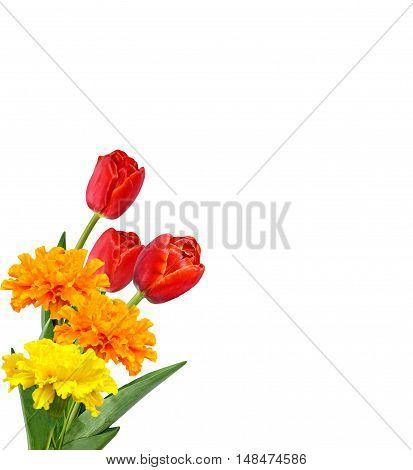 spring flowers tulips isolated on white background. marigold