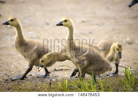 Canada geese chicks walking through grass looking for food to eat