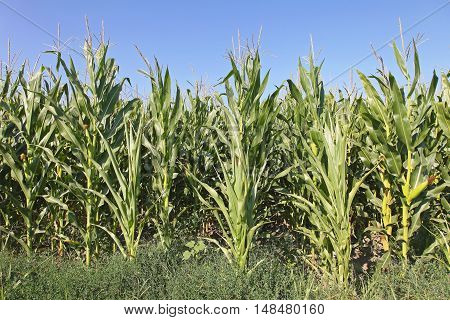Full Grown Green Maize Corn Field Agriculture