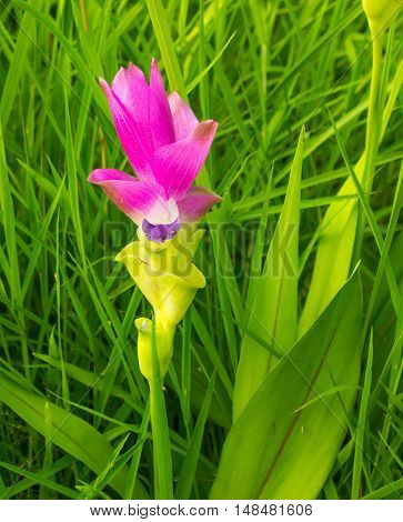 Beautiful wild siam tulips / Close-Up to Pink Siam Tulip Blooming in Meadow