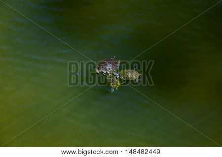 Three red earred terrapin turtles huddle in a lake while swimming. Lots of copy space in the water. Two of the turtles have moss or algae growing on them.