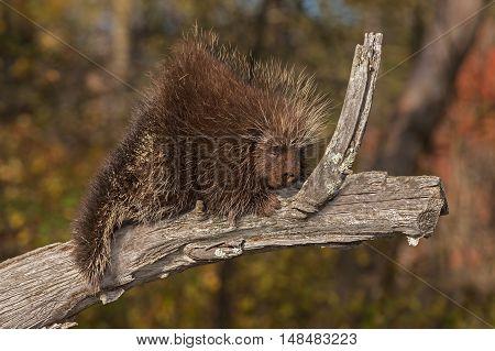 Porcupine (Erethizon dorsatum) Naps on Branch - captive animal